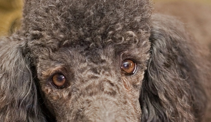 Poodle Eye Problems