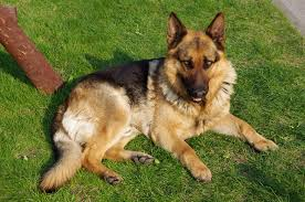 Reasons to Get a German Shepherd 2