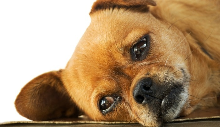 Amitriptyline for Dogs 1