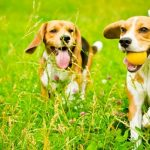 Best Toys for Beagles