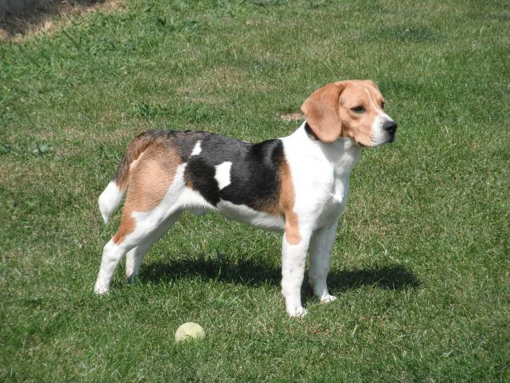 Best Toys for Beagles 2