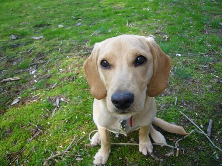 Beagle Lab Mix (Beagador): #1 Breed Info + Fascinating Facts