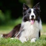 Best Toys for Border Collies