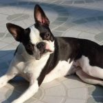 Best Toys for Boston Terriers 2