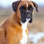 Best Toys for Boxers