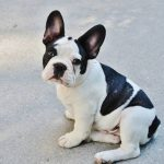 Best Toys for French Bulldogs 2