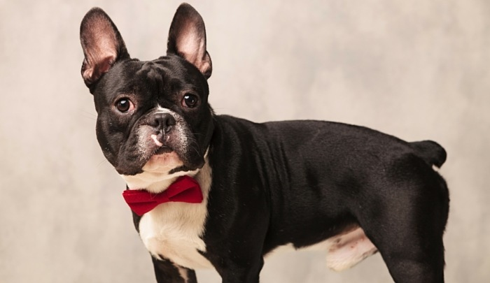 Best Dog Insurance >> Oui Oui: What are the Best Toys for French Bulldogs?
