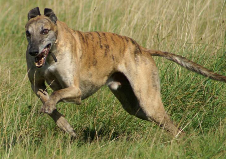 Best Toys for Greyhounds 2