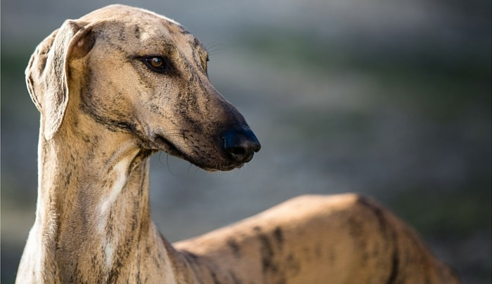 Best Toys for Greyhounds