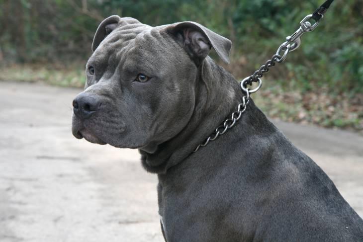Blue Nose Pitbull 2