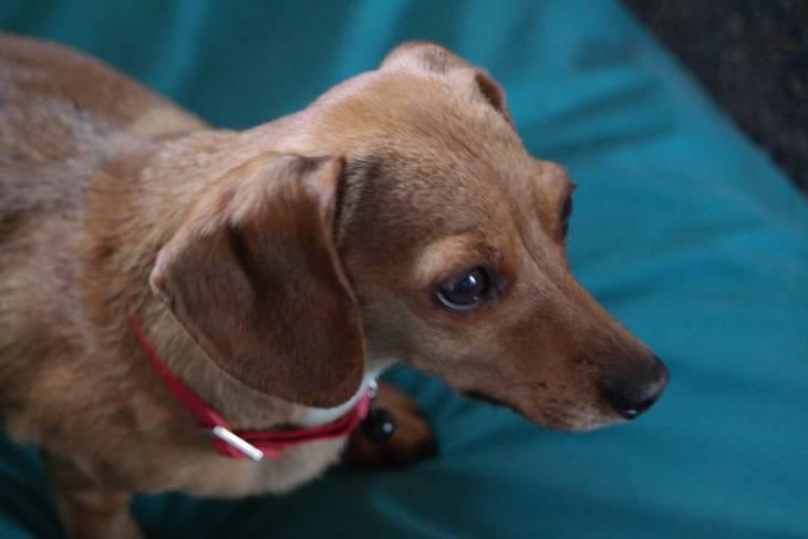 Dachshund Chihuahua Mix 2