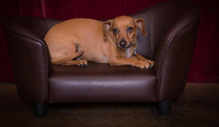 how big will a dachshund chihuahua mix get the long and short of it the dachshund chihuahua mix 5899