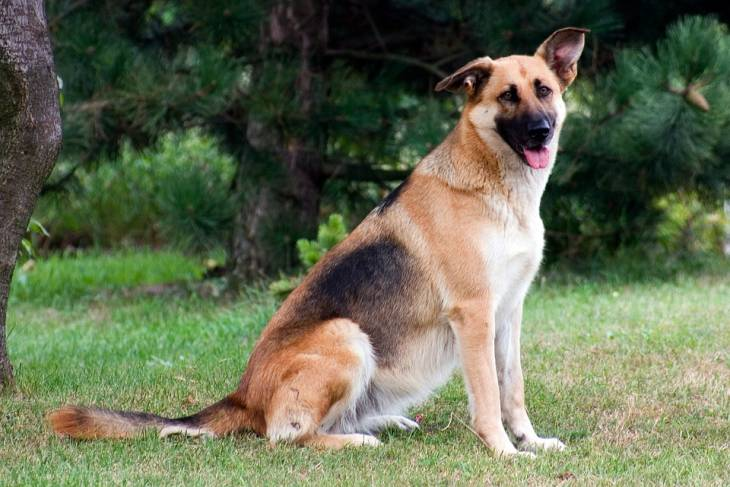 German Shepherd Border Collie Mix 2