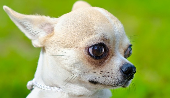 little dog  big love  a look at the apple head chihuahua