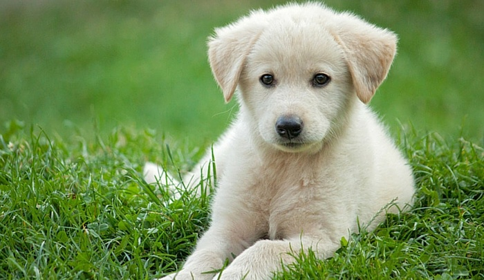 Miniature Golden Retriever 1