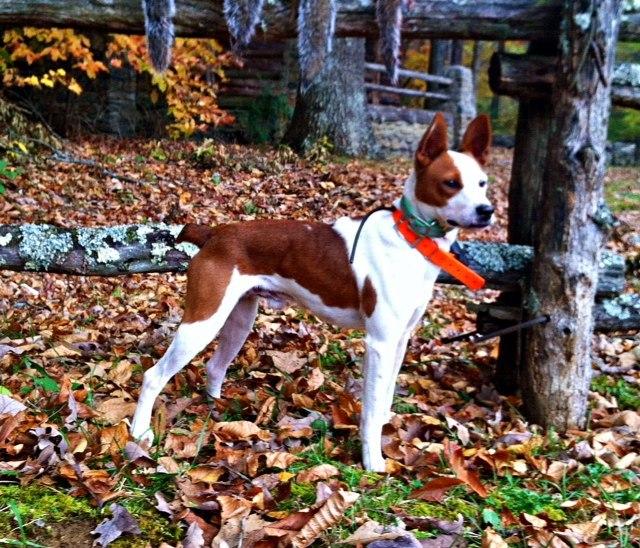 Mountain Feist Dog 2