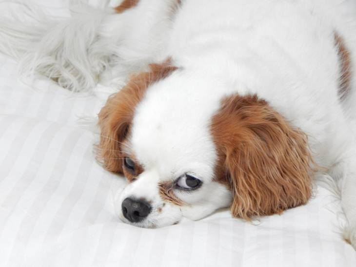 chihuahua shitzu mix shih tzu chihuahua mix shichi 1 info on this adorable breed 2099