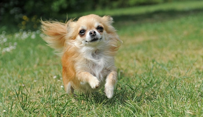 what does a shih tzu chihuahua look like shih tzu chihuahua mix shichi 1 info on this adorable breed 3822