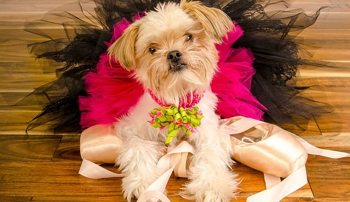 shih tzu yorkie pomeranian mix breeds archives herepup 9233