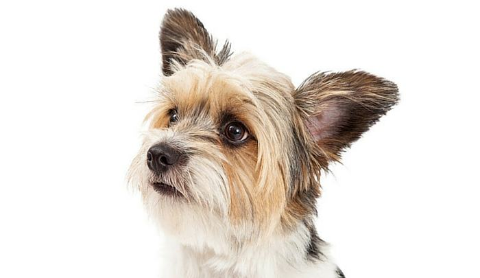yorkshire terrier and shih tzu mix the shih tzu yorkie mix a review 3538