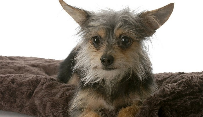Fiery Furballs: A Look at the Yorkie Chihuahua Mix | HerePup!