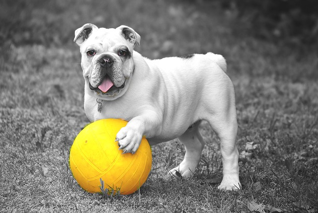 bulldog playing with a yellow ball