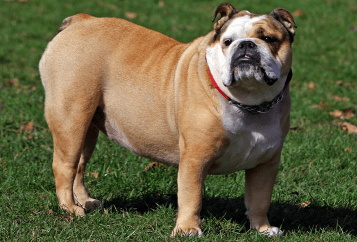 English Bulldog Insurance