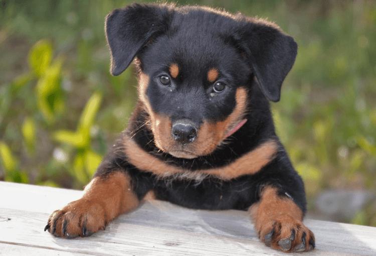 Rottweiler Pet Insurance
