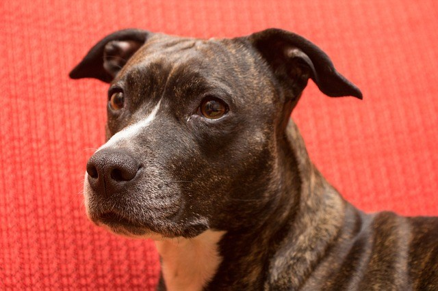 best dog food for staffordshire bull terriers
