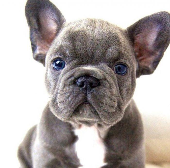 Pisces: French Bulldog