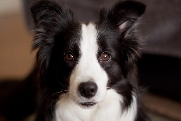 Aquarius: Border Collie