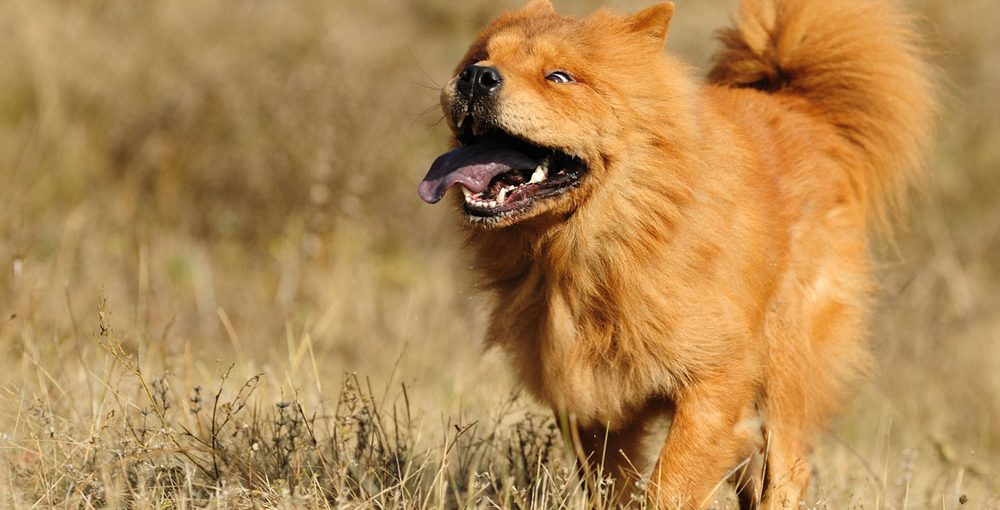 Golden-Retriever-and-Chow-C