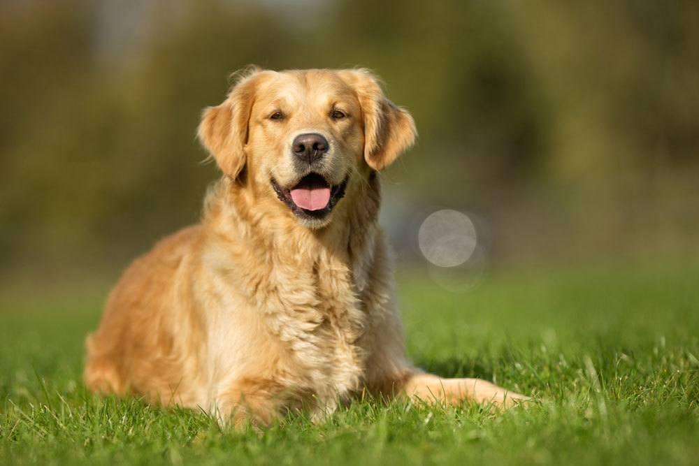 types-of-retriever-dogs.jpg