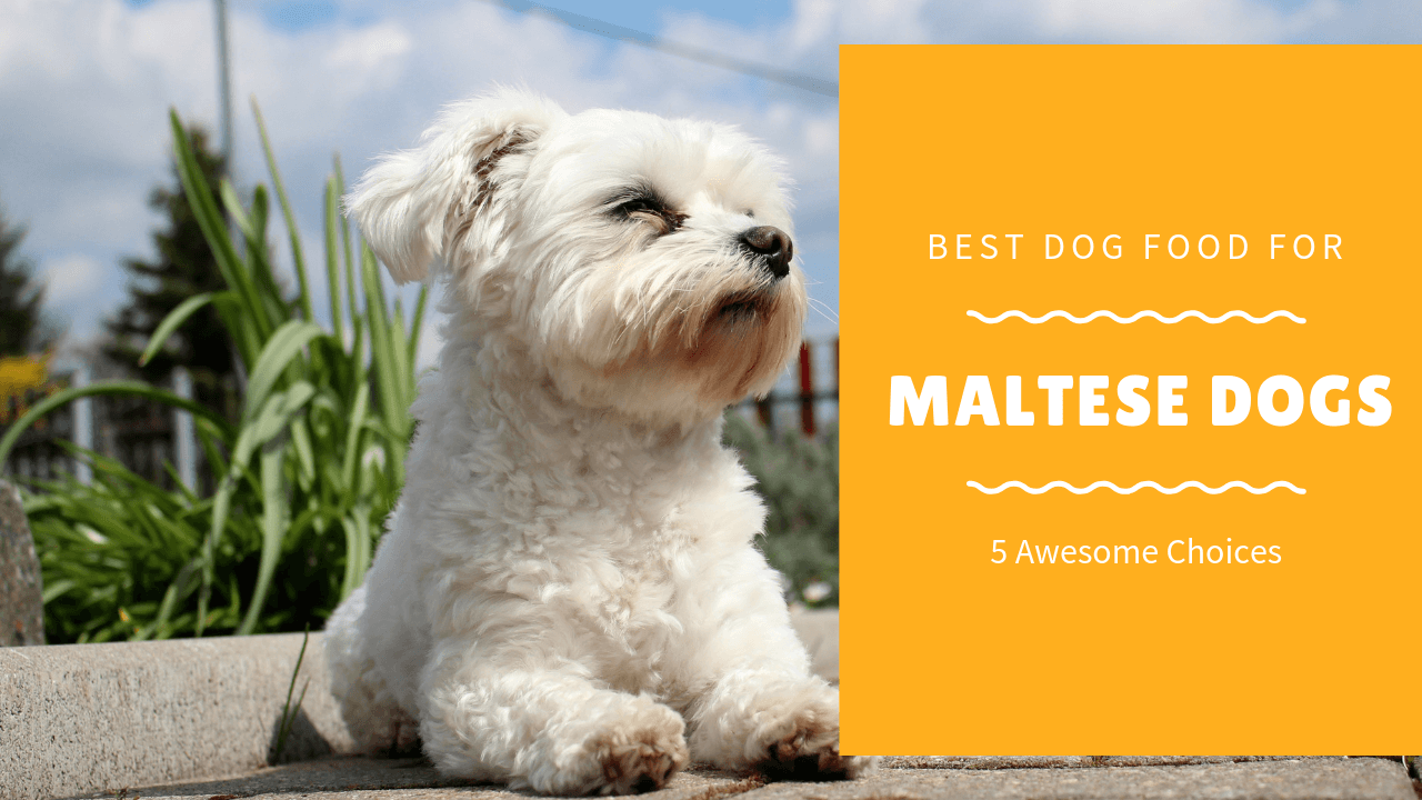 Maltese dog food