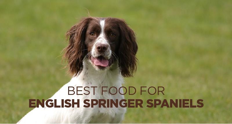 food for english springer spaniel