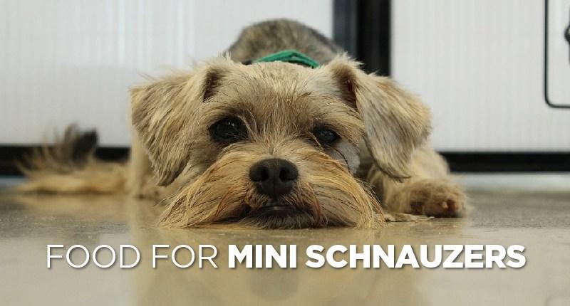 food for mini schnauzer-01