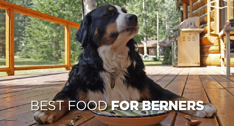 Whats The Best Dog Food For Bernese Mountain Dogs
