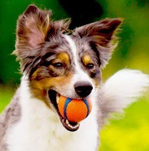 chuckit ball with a collie