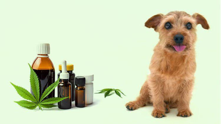 Things You Didn't Know About CBD for Dogs
