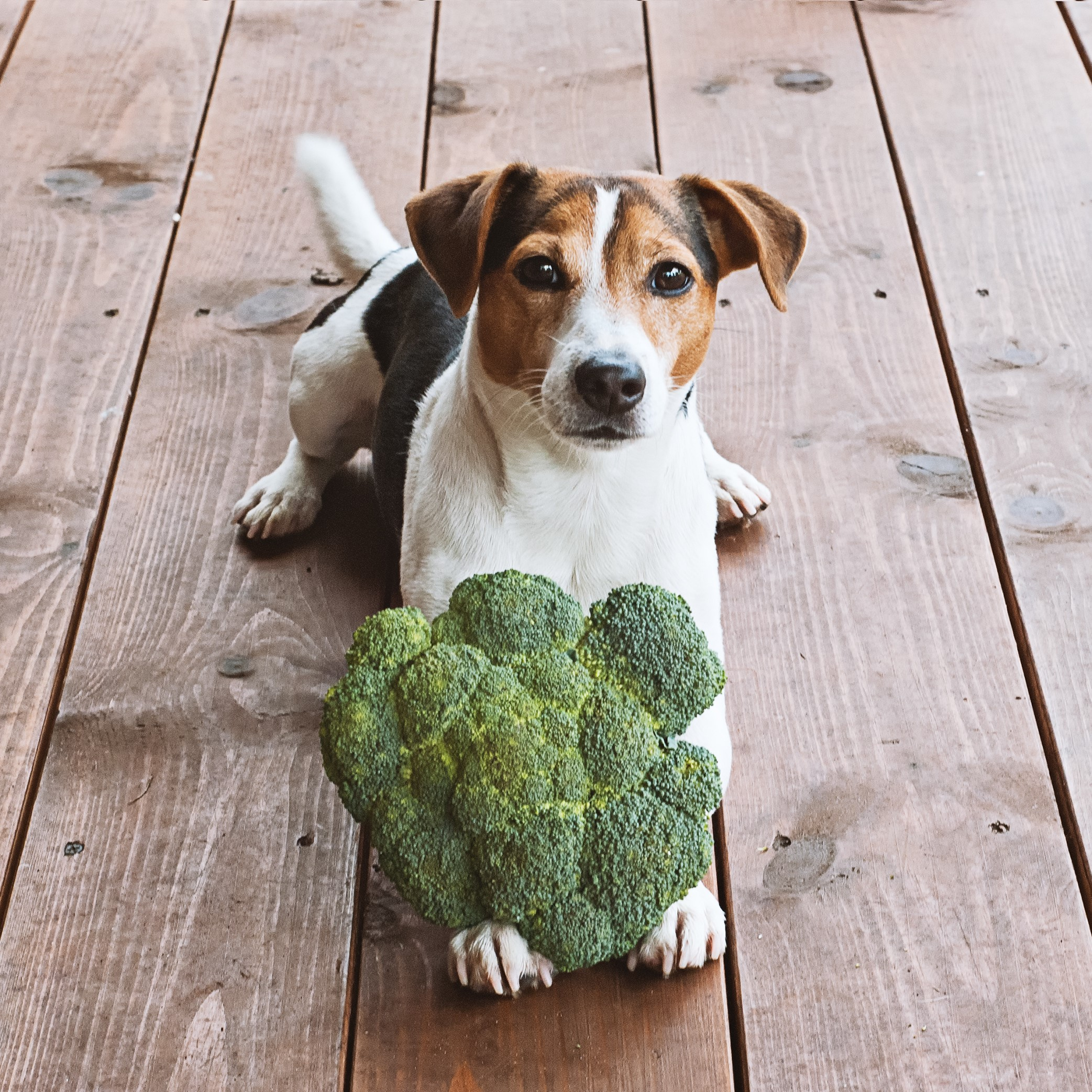 Adorable Young Jack Russell Dog Lying with Fresh Green Broccoli