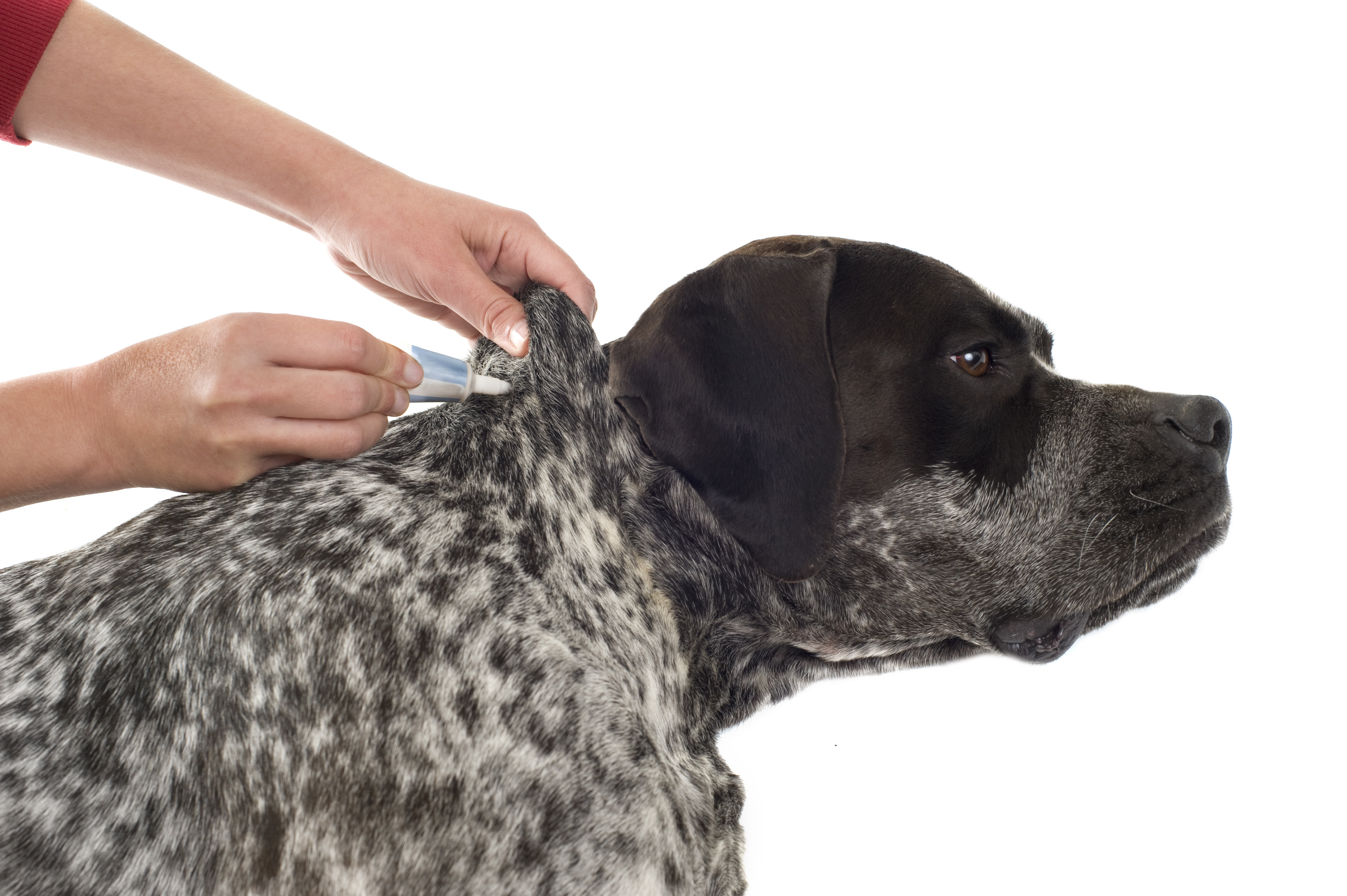 tick and flea prevention for a purebred german pointer dog