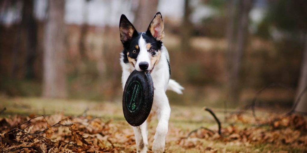 Black and white dog plays with a frisbee
