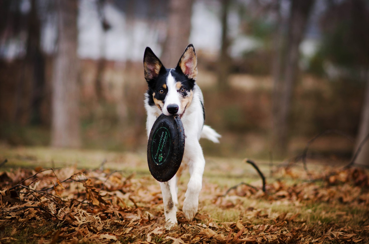 https://herepup.com/wp-content/uploads/2020/03/dog-biting-frisbee-disc-3050287.jpg