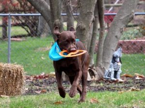 brown dog running with a frisbee disc