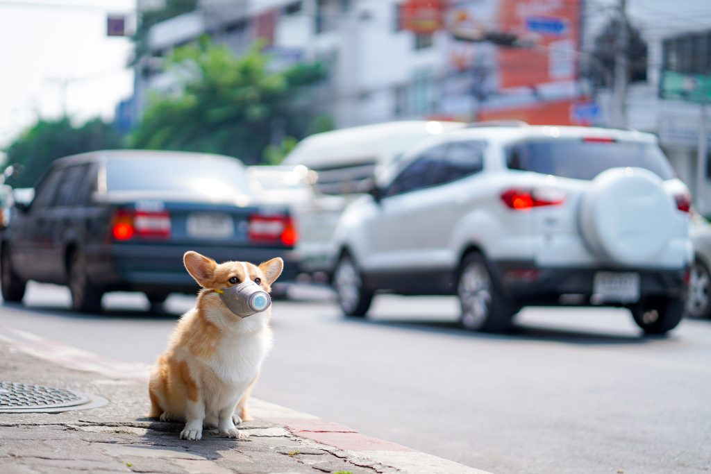 Corgi dog wears dust mask sit on sidewalks with heavy traffic that have dust and air pollution problems. air pollution problems affecting the lives of people and animals.