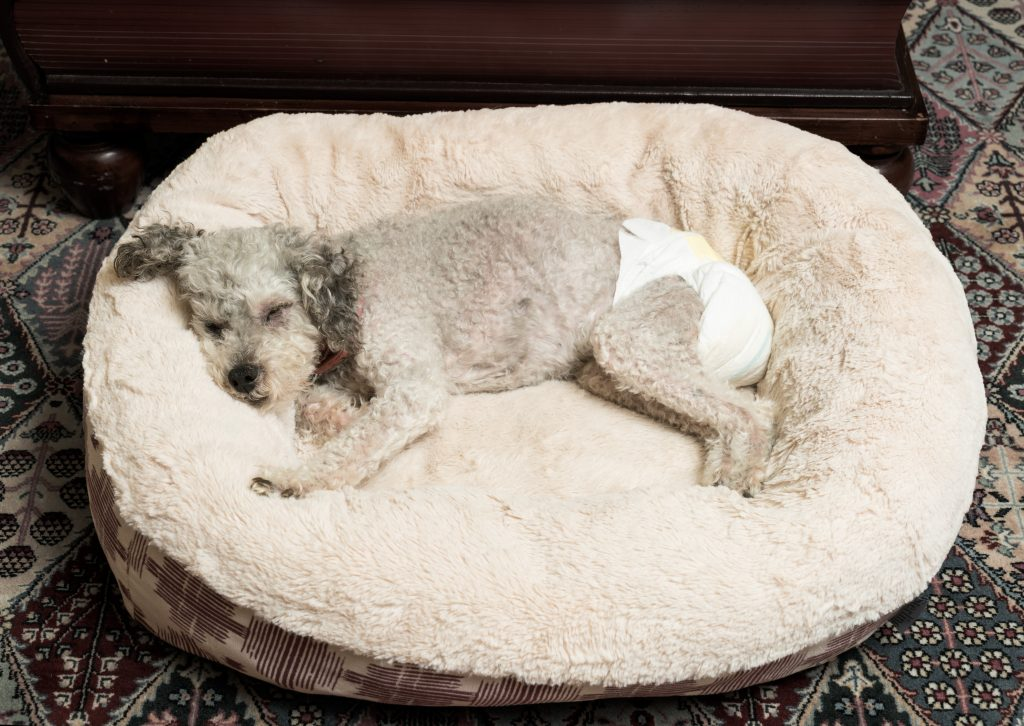 Dog in diapers sleeping in a fluffy bed