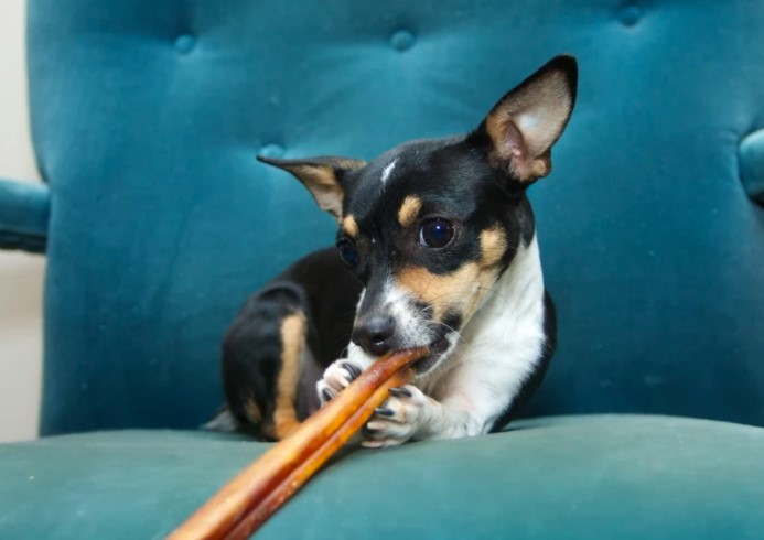 Small dog chewing a bully stick treat