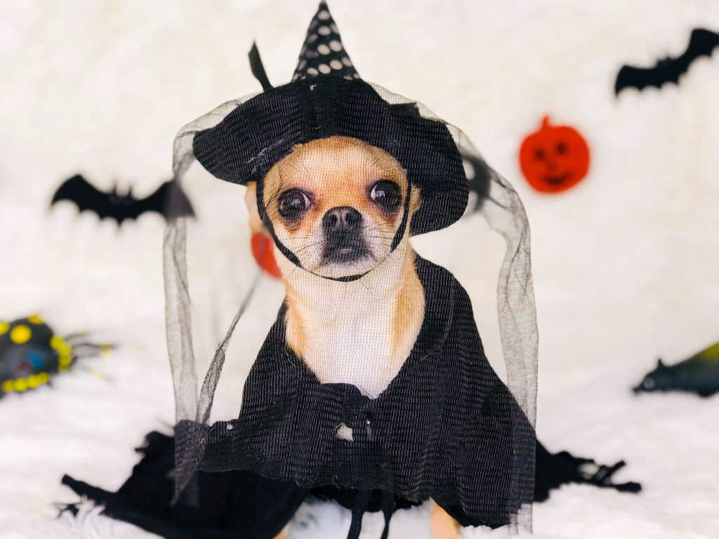 Small dog in a Halloween costume of a witch